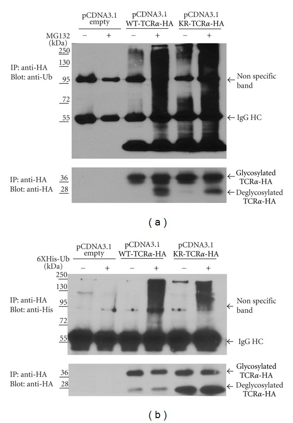 KR-TCR α is ubiquitinated and degraded by the proteasome. (a) HEK293T cells were transfected with a vector expressing WT-TCR α , or a vector expressing KR-TCR α . Cells were either untreated or incubated with MG132 before lysis. Cellular lysates were immunoprecipitated using an anti-HA antibody and the ubiquitination status of TCR α was analyzed by Western blot analysis using an anti-ubiquitin antibody (top panel). Membranes were stripped and reanalyzed using an anti-HA antibody (bottom panel). (b) HEK293T cells were cotransfected with 6XHis-Ub and either a vector expressing WT-TCR α or KR-TCR α . Cells were either untreated or incubated with MG132 before lysis. Cellular lysates were immunoprecipitated using an anti-HA antibody and the ubiquitination status of TCR α was analyzed by Western blot analysis using an anti-His antibody (top panel). Membranes were stripped and reanalyzed using an anti-HA antibody (bottom panel). Molecular weight markers (kD) of marker proteins are indicated.
