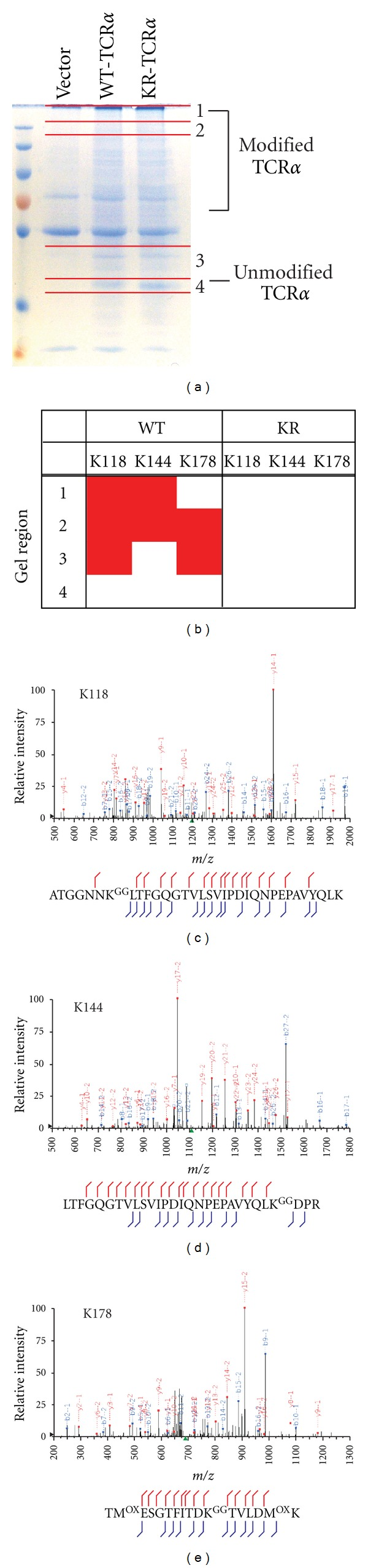 Tandem mass-spectrometry identification of −GG signature peptides from ubiquitinated TCR α on Lys-118, Lys-144, and Lys-178. HEK293T cells were transiently transfected with WT-TCR α or vector alone, incubated with MG132, and then lysed. Lysates were subjected to immunoprecipitation with an anti-HA antibody and examined by SDS-PAGE followed by Coomassie staining. Four regions of the gel were excised and trypsinized as shown in (a). Samples were analyzed by tandem mass-spectrometry and the results are summarized in (b). Peptide spectral matches to −GG signature peptides (ggSP) at Lys-118, Lys-144, or Lys-178 in each region of the gel are indicated by red shading. Representative MS/MS spectra for each of the ggSP are shown: (c) Lys-118, (d) Lys-144, and (e) Lys-178. The peaks are labeled with the fragment ion and its charge state. For example, y14-1 is the singly charged version of y14. b- and y-fragment ions are denoted by blue and red, respectively. Green squares denote precursor ions, multiply charged fragment ions, or predictable neutral loss ions accounted for during manual inspection of MS/MS data.