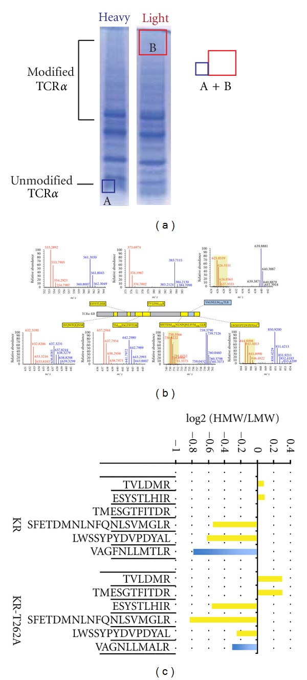 KR-TCR α peptide VAGFNLLMTLR (aa 254–264) is modified. HEK293T cells were incubated in either heavy or light SILAC media for five days and then transiently transfected with KR-TCR α or vector alone, incubated with MG132 and then lysed. Lysates were subjected to immunoprecipitation with an anti-HA antibody and examined by SDS-PAGE followed by Coomassie staining. (a) Gel pieces containing heavy, unmodified TCR α were combined with gel pieces containing light SILAC labeled, ubiquitin-modified KR-TCR α . Heavy and light proteins were digested with trypsin and analyzed by LC-MS/MS. (b) Seven narrow range full-MS spectra for representative KR-TCR α peptides are shown. Data were collected in high-resolution on an <t>LTQ-Orbitrap,</t> with light ions shown in red and heavy ions in blue. (c) HEK293T cells were incubated in either heavy or light SILAC media for five days, transfected with KR-TCR α or KR-TCR α -T262A, and the same experimental procedure was followed as in Table 1 . The relative abundance of six peptides are quantified and represented in the bar graph. Numbers represent the area under the curve for the peptide in the high molecular weight region (corresponding to modified TCR α ) divided by the peak height of the same peptide in the low molecular weight region (corresponding to unmodified TCR α ).