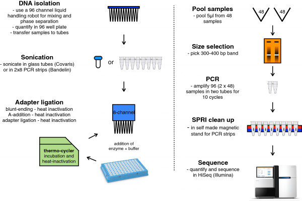 Library preparation pipeline. DNA isolation is performed with a 96-head liquid handling robot. DNA fragmentation is achieved by sonication, either in glass tubes (Covaris) or PCR strips (Bandelin). SPRI bead cleanup is automated on a 96-head liquid handling robot. Three enzymatic steps for barcoded adapter ligation are performed by addition of enzyme (+ buffer), incubation, and heat inactivation in a thermocycler. After pooling of 48 barcoded libraries, samples are concentrated and size-selected using an E-gel. PCR is performed on the size-selected pool to enrich for adapter containing fragments and elongate them to full-length libraries. A final cleanup is performed in PCR strips mounted to a homemade magnetic stand.