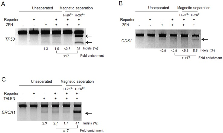 Surrogate reporter-mediated magnetic separations enrich ZFN- and TALEN-driven mutant cells. Nuclease-driven mutations were detected by the T7E1 assay. Arrows indicate the expected positions of DNA bands cleaved by mismatch-sensitive T7E1. The numbers at the bottom of the gels indicate mutation percentages calculated by band intensities.