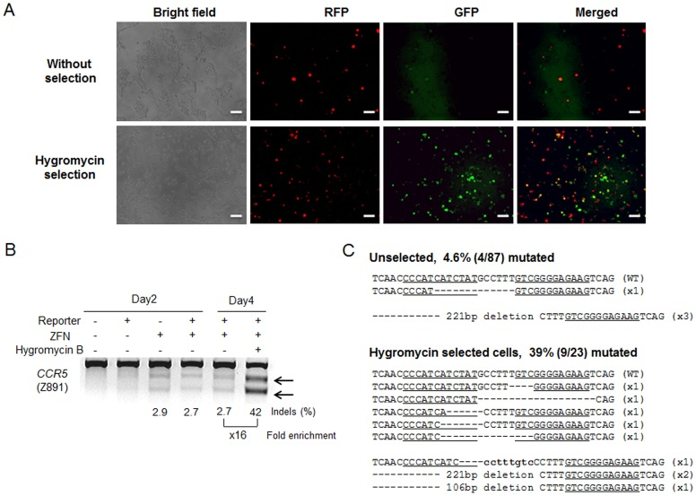 Hygromycin selection through use of a surrogate reporter system enriches nuclease-induced mutant cells. (A) Enrichment of GFP + cells after hygromycin selection. Scale bar = 50 µm. (B) ZFN-driven mutations detected by the T7E1 assay. Arrows indicate the expected positions of DNA bands cleaved by mismatch-sensitive T7E1. The numbers at the bottom of the gel indicate mutation percentages calculated by band intensities. (C) DNA sequences of the wild-type (WT) and mutant clones, with ZFN recognition sites underlined. Dashes indicate deleted bases, and small bold letters indicate inserted bases. The number of occurrences is shown in parentheses; X1, X2, and X3 indicate the number of times that each clone was detected. Mutation frequencies were calculated by dividing the number of mutant clones by the number of total clones.