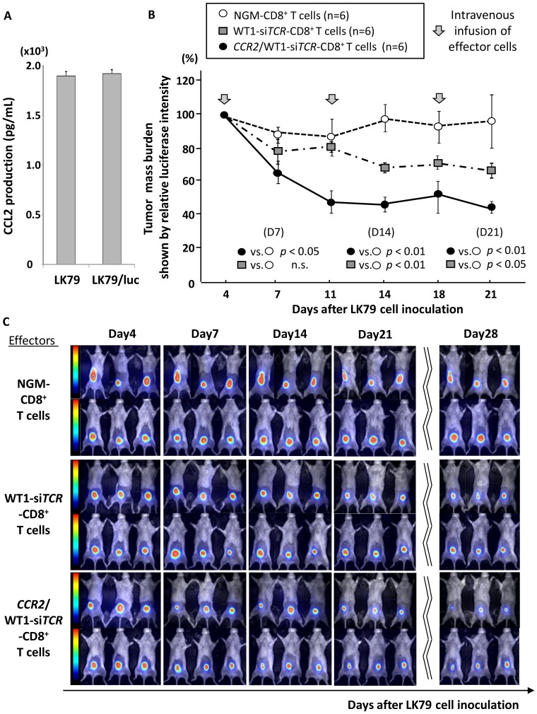 In vivo anti-lung cancer activity mediated by double-transfected effector cells in therapeutic xenografted mouse models. (A) The amount of CCL2 produced by luciferase -transfected LK79 cells (LK79/luc) was similar to that produced by the parent LK79 cells. (B) Nine-week-old NOG mice (n = 18) inoculated into the abdominal wall with 5×10 6 LK79/luc cells were divided into 3 cohorts. On day 4, when each tumor mass had become palpable, three mice in each cohort started to receive weekly intravenous administration of 5×10 6 double-transfected effector cells (cohort iii; black circles), WT1-si TCR single-transfected effector cells (cohort ii; gray square), or CD8 + T cells simply activated using OKT-3/IL-2 as a negative control (cohort i; clear circles), the effector cells all being generated from an identical donor. Intravenous administration was performed three times in total, and the relative mass burden was serially monitored on the basis of luciferase photon counts relative to those on day 4, before the start of therapeutic infusion. Double-transfected effector cells in cohort iii mice most effectively suppressed the growth of LK79/luc cells, notably in the immediate phase after therapeutic infusion (on day 7). In contrast, WT1-si TCR single-transfected effector cells gradually suppressed the growth of LK79/luc cells, being apparently dependent on time and the total number of effector cells infused. Effector cells that had been simply activated also displayed a marginal degree of tumor suppression, probably because of xenoreactivity. Error bars represent SDs. NGM-CD8 + T cells indicate CD8 + T cells simply activated using OKT-3/IL-2, expressing neither CCR2 nor WT1-specific TCR. (C) Serial bioluminescence images of mice in each cohort are shown. On day 28, 10 days after the last therapeutic infusion, durable growth suppression of LK79/luc cells was most evident in cohort iii mice that had received double-transfected effector cells. NGM-CD8 + T cells represent CD8 + T
