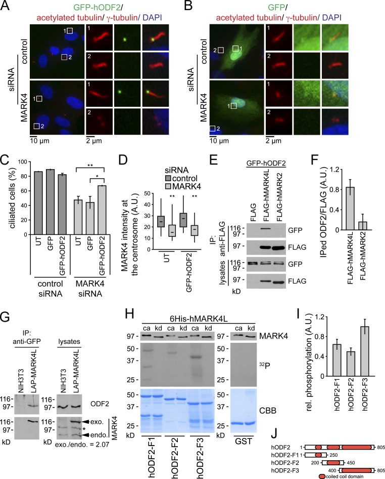ODF2 overexpression rescues cilia loss after MARK4 depletion. (A and B) RPE1 cells were transiently transfected with GFP-hODF2 (A) or GFP (B) and subsequently treated with control or MARK4 siRNA for 24 h before serum withdrawal and incubation for another 24 h. Cells were stained for DNA, γ-tubulin, and acetylated tubulin. The left images show merged images. Regions within the white boxes are shown at a higher magnification on the right. (C) Percentages of ciliated cells based on acetylated tubulin as a cilia marker. UT, untransfected. (D) Efficiency of MARK4 depletion in untransfected and GFP-hODF2–expressing cells were determined by quantitative fluorescence microscopy using MARK4-specific antibodies. Boxes show the top and bottom quartiles (25–75%) with a line at the median, and whiskers extend from the minimum to the maximum of all data. (E and F) HEK293T cells were transiently transfected with the indicated constructs. Immunoprecipitations (IP) were performed using anti-FLAG agarose. (E) Interacting proteins were detected by immunoblotting. (F) Quantification of E. (G) NIH 3T3 cells and NIH 3T3 cells expressing low levels of LAP-MARK4L were serum starved for 24 h, and immunoprecipitations were performed on the lysates using anti-GFP beads and probed for endogenous ODF2 and MARK4. exo., exogenous; endo., endogenous. The asterisk indicates an unspecific band. (H) For in vitro kinase assays, purified 6His-MARK4L, either catalytic active (ca) or kinase dead (kd), was incubated with recombinant ODF2 truncations. GST was used as a negative control. Samples were subjected to SDS-PAGE followed by autoradiography ( 32 P) and Coomassie Brilliant blue staining (CBB). An aliquot of each reaction was analyzed by immunoblotting with anti-MARK4. (I) Relative phosphorylation of ODF2-F1, ODF2-F2, and ODF2-F3 normalized to protein amounts. (J) Schematic representation of ODF2 truncations. A.U., arbitrary unit. Data are means ± SD of three independent experiments. *, P