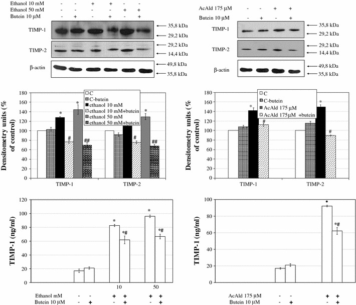 The effect of preincubation of HSCs with 10 μM butein on parameters related to extracellular matrix remodeling induced by ethanol. Western blot analyses for tissue inhibitor of metalloproteinase-1 ( TIMP-1 ) and TIMP-2 were performed on cell lysates derived from cells preincubated for 24 h with 10 μM butein and subsequently incubated for 24 h with the indicated ethanol and acetaldehyde concentrations. The upper panels show representative blots from three independent experiments each with four separate cell cultures, the middle panels show densitometry analysis of bands, and the lower panels show the TIMP-1 ELISA assay. *Significantly different from respective controls ( C cells not treated, C-butein treated only with butein), p ≤ 0.01. # Statistically significant in comparison to cells treated with ethanol or acetaldehyde alone, # p ≤ 0.05, ## p ≤ 0.001. Butein significantly changed the ethanol ( p ≤ 0.01) and acetaldehyde ( p ≤ 0.1) effect (two-way ANOVA)