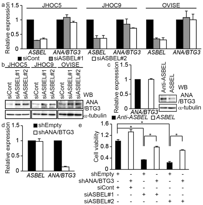 ASBEL downregulates ANA/BTG3 protein, but not mRNA expression. (a) qRT-PCR analysis of ASBEL and ANA/BTG3 expression in ovarian cancer cell lines transfected with siRNA targeting ASBEL . Prior to fold-change calculation, the values were normalized to the signal generated from GAPDH mRNA. (b) Cell lysates from ovarian cancer cell lines transfected with siRNA targeting ASBEL were subjected to immunoblotting analysis with antibodies against the indicated proteins. α-tubulin was used as a loading control. (c) (Left) qRT-PCR analysis of ANA/BTG3 expression in JHOC5 cells transfected with either the sense or antisense ASBEL expression plasmid. (Right) Cell lysates were subjected to immunoblotting analysis with antibodies against the indicated proteins. α-tubulin was used as a loading control. (d) qRT-PCR analysis of ASBEL and ANA/BTG3 expression in JHOC5 cells infected with a lentivirus expressing an shRNA targeting ANA/BTG3. (e) JHOC5 cells that had been infected with a lentivirus expressing shRNA targeting ANA/BTG3 was transfected with siRNA targeting ASBEL and their viability was assessed. *, P