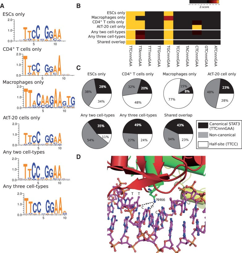 STAT3 uses alternative (non-canonical) modes of binding to DNA. ( A ) de novo generated motifs from HOMER are very similar in the six lists of STAT3 binding. Motifs were generated from the entire lists of STAT3-binding sites for each category, except for CD4 + T cells where the top 1000 sites were used (as for the entire list we could only identify a STAT3 half-site). ( B ) z -score heatmap to show over representation of variant STAT3 motifs in the STAT3-binding sites in the various cell types. Variant motifs are presented here as all single base pair mutations of one-half of the STAT3 heterodimeric motif. ( C ) Pie charts showing the frequency of the DNA words TTCnnnGAA (canonical STAT3) or a non-canonical STAT3 binding: TTAnnnGGA and TGCnnnGGA for ESCs, CD4 + T cells, any two cell types and any three cell types; TGCnnnGAA for macrophages and the shared overlap; and TTAnnnGGA, TGCnnnGGA and CTCnnnGAA for AtT-20 cells. ( D ) Cartoon representation of the Asn466 amino acid of STAT3 making contact with the DNA base pairs [PDB entry 1bg1 ( 46 )].