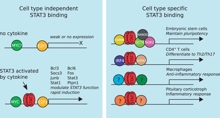 A putative model explaining how STAT3 can perform both cell type-independent and cell type-specific functions by assembling around distinct TRMs. STAT3 binding to the genome occurs in two distinct ways: (i) a cell type-independent mode that is primarily concerned with the regulation of STAT3's own activity and (ii) a number of cell type-specific modes that execute distinct transcriptional programmes in various cell types.