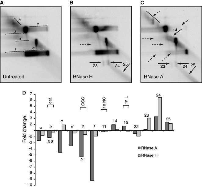 Mitochondrial DNA topoisomers are associated with RNA in 2D-IMAGE profiles. ( A ) 2D-IMAGE profile of wild-type MEF DNA without RNAse treatment. New topoisomers relative to those in Figure 3 are assigned letters. ( B ) RNase H treatment, which digests RNA:DNA hybrids, reveals the vertical spikes of DNA that are sensitive to S1 nuclease ( 23–25 ). Molecules that decrease on digestion are indicated with dashed arrows, whereas those that increase are indicated with solid arrows. Numbers correspond to topoisomers in Figure 3 . ( C ) RNase A treatment, which digests heterogeneous RNA after U and C bases, reveals the typical 2D-IMAGE pattern shown in Figure 2 . Dashed arrows indicate a reduction in signal, and solid arrows indicate increased signal. ( D ) Quantitation of change in abundance of topoisomers shown in panels B and C relative to untreated.