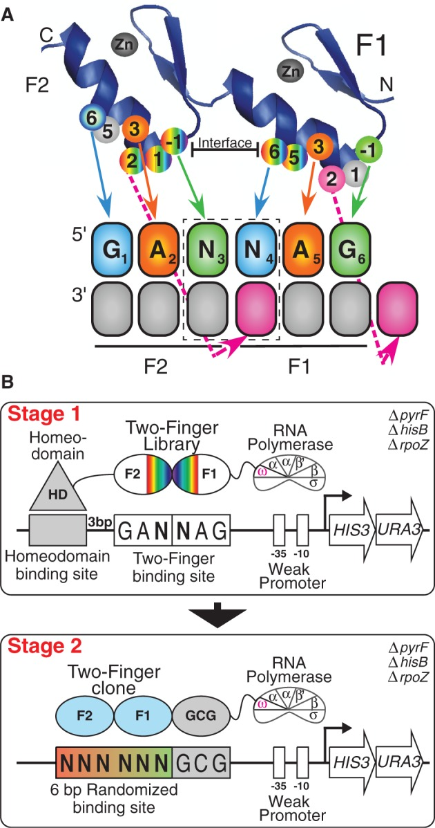Selection of GANNAG finger sets. ( A ) Schematic of two-finger ZFP library used in these selections with the specificity determinants mapped to their recognition positions in their binding site. The dashed box indicates the position of the dinucleotide junction. This library contains randomized amino acids at the finger–finger interface at positions +5 and +6 of finger 1 (randomized with VNS codons) and positions −1, +1 and +2 of finger 2 (randomized with NNW codons), where the numbering scheme refers to the position of the residue relative to the start of the recognition helix. The finger 1 residues at positions −1, 1 and 2 (R, S and D) represent the N-terminal cap, and the finger 2 residues at positions 5 and 6 (T and R) represent the C-terminal cap. ( B ) Schematic representation of the two-stage process used to identify two-finger modules with the desired sequence preference. In Stage 1, the B1H system is used to select two-finger modules complementary to each target site. The randomized two-finger module library is fused between the DNA-binding domain of the Engrailed homeodomain and the ω-subunit of the RNA polymerase. The fixed 6-bp GANNAG target site is present on the His3/Ura3 reporter plasmid between the homeodomain binding site and the −35 box. In Stage 2, the DNA binding specificity of candidate two-finger modules obtained from the first stage of the selection are interrogated. Each two-finger module is fused to an N-terminal finger (RSDTLAR) that binds to the 'GCG' triplet adjacent to the 6 bp randomized zinc-finger binding region on the reporter plasmid. The recovered binding sites are determined by Illumina sequencing, and then a binding site motif is calculated from these sequences ( 56 ).