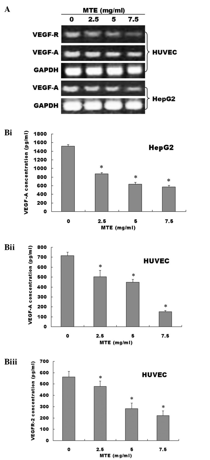 (A) Effect of MTE on the mRNA expression levels of VEGF-A and VEGFR-2. Cells were treated with various concentrations of MTE for 24 h. The mRNA levels of VEGF-A and VEGFR-2 were determined by RT-PCR in HUVECs and HepG2s. GAPDH was used as an internal control. Data are representative of three independent experiments. (B) Effect of MTE on the protein expression levels of VEGF-A and VEGFR-2.(Bi) The protein levels of VEGF-A secreted in cell culture medium were determined by ELISA after HepG2 cells were treated with indicated concentrations of MTE for 24 h. (Bii) The protein levels of VEGF-A secreted in cell culture medium were determined by ELISA after HUVECs cells were treated with indicated concentrations of MTE for 24 h.. (Biii) The protein levels of VEGFR-2 in cell lysates were determined by ELISA after HUVECs cells were treated with indicated concentrations of MTE for 24 h. Data are the mean ± SD (error bars) from at least three independent experiments. * P