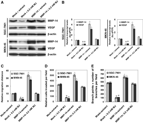 Restoration of MMP-14 rescued sub-cytotoxic MJ-mediated suppression on VEGF expression, migration, invasion and angiogenesis of gastric cancer cells. Human gastric cancer cell lines SGC-7901 and MKN-45 were transfected by MMP-14 expression vector for 72 hrs, and incubated with sub-cytotoxic MJ for 24 hrs. A and B , western blot and real-time quantitative RT-PCR indicated that transfection of SGC-7901 and MKN-45 cells with MMP-14 construct rescued the MJ-attenuated expression of MMP-14 and VEGF, when compared to those transfected with empty vector (mock) and treated with solvent. C , in scratch migration assay, over-expression of MMP-14 promoted the migration of SGC-7901 and MKN-45 cells, and rescued the 0.2 mM MJ-induced inhibition on the migration of cancer cells, when compared to that of solvent-treated mock cells. D , transwell analysis indicated that restoration of MMP-14 expression rescued the SGC-7901 and MKN-45 cells from 0.2 mM MJ-induced suppression of invasiveness, when compared to that of solvent-treated mock cells. E , restoration of MMP-14 expression in SGC-7901 and MKN-45 cells rescued the 0.2 mM MJ-induced suppression of angiogenesis, when compared to that of solvent-treated mock cells. The symbols (* and △) indicate a significant decrease and a significant increase from solvent-treated mock cells, respectively.