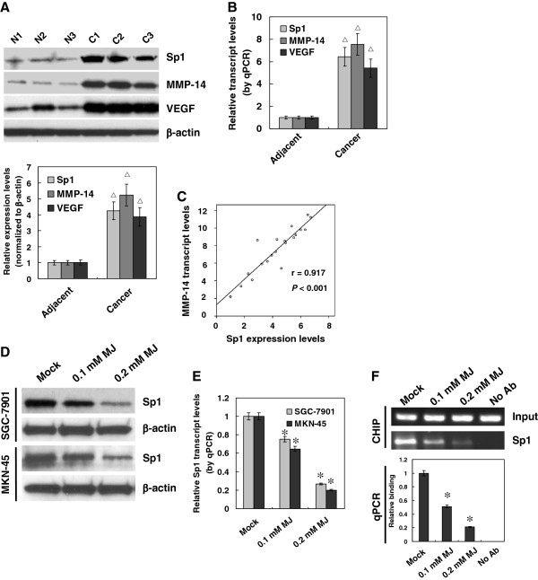 Sub-cytotoxic MJ suppressed the Sp1 expression and binding on MMP-14 promoter in gastric cancer cells. A and B , cancerous ( C ) and adjacent non-neoplastic (N) tissues from twenty gastric cancer patients were collected for the analysis of Sp1, MMP-14, and VEGF expression. Western blot and real-time quantitative RT-PCR indicated that the expression of Sp1, MMP-14, and VEGF was significantly higher in gastric cancer tissues than that of adjacent neoplastic tissues. C , Pearson's coefficient correlation analysis demonstrated a positive correlation between Sp1 protein and MMP-14 transcript levels in gastric cancer tissues (r = 0.917, P