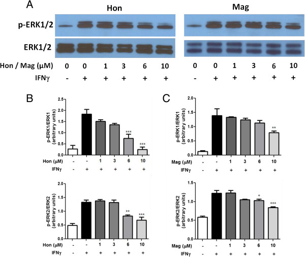Hon and Mag inhibit IFNγ-induced activation of p-ERK1/2 in BV-2 microglial cells. (A) Western blot analysis showing a representative experiment of Hon or Mag pretreatment on IFNγ to induce p-ERK1/2 phosphorylation in BV-2 microglia cells. Cells were treated with either Hon or Mag (1 to 10 μM) for 1 h followed by stimulation with IFNγ (10 ng/ml) for 4 h. (B C) Results of protein band intensities are expressed as arbitrary units of phospho-ERK1/2 against total ERK1/2. Results are expressed as the mean ± SEM ( n = 3) and significant difference from the respective IFNγ stimulated group was determined by one-way ANOVA followed by Dunnett's tests, * P