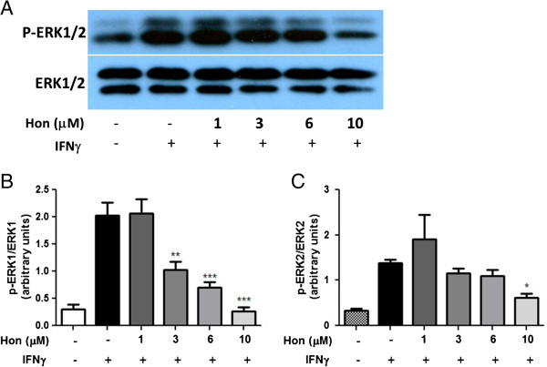 Hon inhibits IFNγ-induced activation of p-ERK1/2 in HAPI microglial cells. (A) Western blot analysis showing a representative experiment of Hon pretreatment on IFNγ to induce ERK1/2 phosphorylation in HAPI microglial cells. Cells were treated with Hon (1 to 10 μM) for 1 h followed by stimulation with IFNγ (10 ng/ml) for 4 h. (B C) Results of protein band intensities are expressed as arbitrary units of phospho-ERK1/2 against total ERK1/2. Results are expressed as the mean ± SEM ( n = 3) and significant difference from the respective IFNγ stimulated group was determined by one-way ANOVA followed by Dunnett's tests, * P