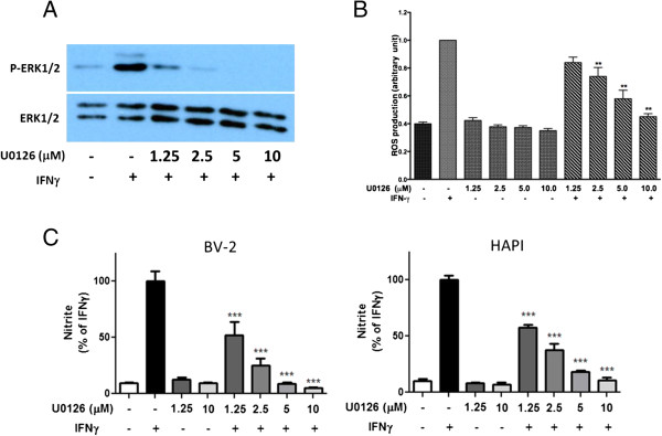 Role of ERK1/2 activation in IFNγ-induced ROS and NO production in BV-2 and HAPI microglial cells. Cells were treated with IFNγ (10 ng/ml) with or without the MEK1/2 inhibitor, U0126 (1.25 to 10 μM). (A) Representative Western blot demonstrated ability for U0126 to inhibit phosphorylation of ERK1/2 dose-dependently 4 h after IFNγ treatment. (B) For ROS production, BV-2 cells were pretreated with different concentrations of U0126 for 1 h prior to stimulation with IFNγ for 12 h. (C) For NO production, both BV-2 and HAPI cells were pretreated with different concentrations of U0126 for 1 h prior to stimulation with IFNγ for 16 h. Results are expressed as the mean ± SEM ( n = 3), and significant difference from the respective IFNγ stimulated group was determined by one-way ANOVA followed by Dunnett's tests, ** P