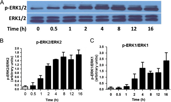 Time course of IFNγ-induced activation of p-ERK1/2 in BV-2 microglial cells. (A) Western blot analysis of a typical time course for IFNγ (10 ng/ml) to induce ERK1/2 phosphorylation in BV-2 microglia cells. Cell lysates were extracted at the time indicated. (B, C) Results of protein band intensities are expressed as arbitrary units of phospho-ERK1/2 against total ERK1/2 for (B) ERK1 and (C) ERK2. Results are expressed as mean ± SEM ( n = 3).
