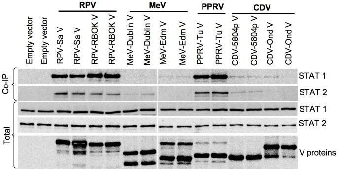 "Morbillivirus V proteins show varied abilities to co-precipitate STAT1 and STAT2. Vero human-SLAM cells were transfected in duplicate wells with 1 µg of empty vector or plasmid driving the expression of the indicated protein. Forty-eight hours post-transfection, one member of each pair was lysed with lysis buffer at pH 7.5 and second with lysis buffer at pH 8.0. The lysates were immunoextracted with mouse anti-V5 antibody as in "" Materials and methods "". The immunoprecipitates (Co-IP) and a fraction of total cell lysate (1/10th) were analyzed in Western blots for the presence of STAT1 or STAT2 using rabbit anti-STAT1 and rabbit anti-STAT2 antibodies respectively. The blots from total cell lysates were also probed with mouse anti-V5 antibody for analyzing the expression levels of the expected V proteins. The primary antibodies were detected with peroxidase-labelled anti-mouse or anti-rabbit IgG antibody."