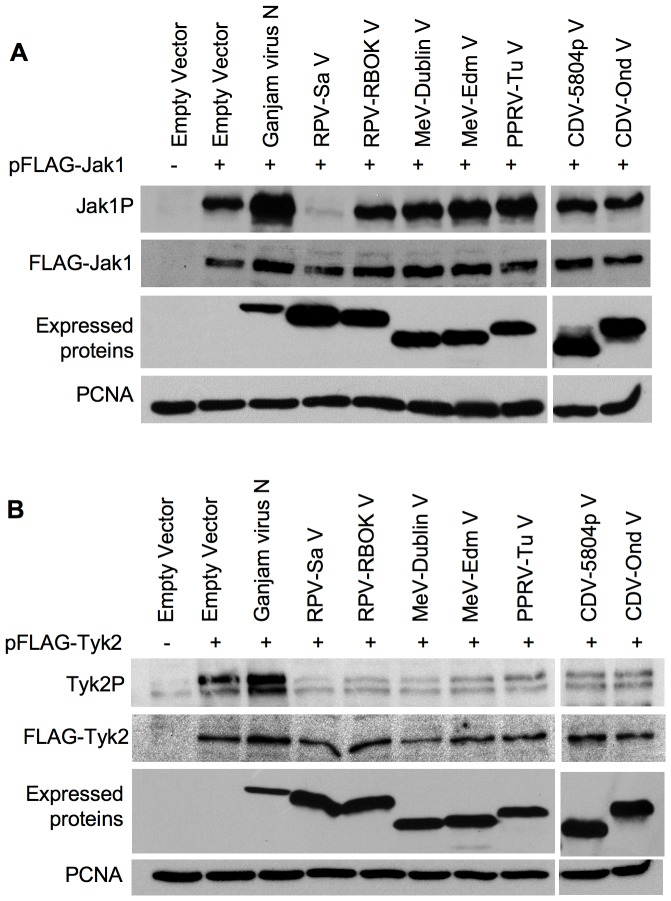 "Inhibition of Jak1 and Tyk2 over-expression-induced phosphorylation By morbillivirus V proteins. (a) Vero human-SLAM cells were co-transfected with empty vector or plasmid encoding the indicated protein along with 300 ng pFLAG-Jak1. (b) Vero dog-SLAM cells were co-transfected with empty vector or plasmid encoding the indicated protein along with 400 ng pFLAG-Tyk2. Twenty-four hours post-transfection, the cells were lysed in SDS-PAGE sample buffer containing protease and phosphatase inhibitors as described in "" Materials and methods "" and the levels of phosphorylated Jak1 and phosphorylated Tyk2 were analyzed in Western blots using rabbit anti-Jak1P and rabbit anti-Tyk2P antibodies respectively. The blots were also probed with mouse anti-FLAG and mouse anti-V5 antibodies to analyze the expression levels of FLAG-Jak1 or FLAG-Tyk2 and the expected morbillivirus V proteins. The primary antibodies were detected with peroxidase-labelled anti-mouse or anti-rabbit IgG antibody. PCNA levels served as loading control."