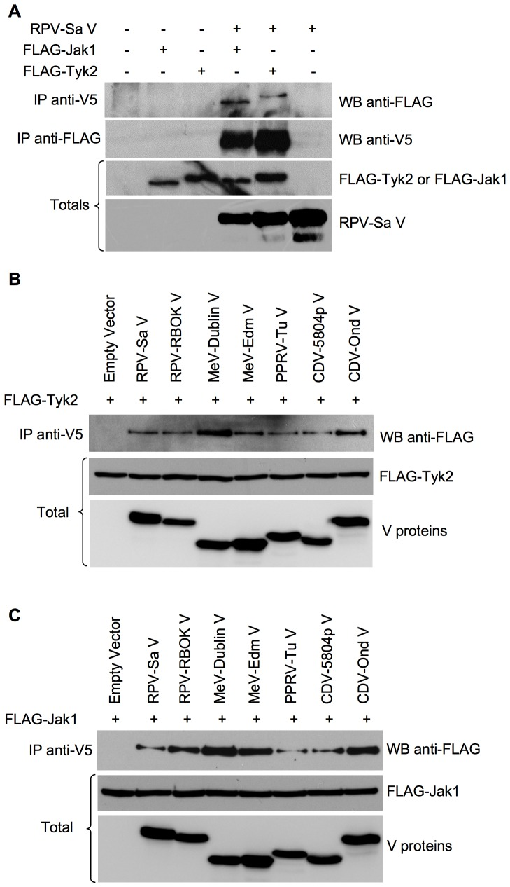 "All morbillivirus V proteins co-precipitate Jak1 and Tyk2. (a) Vero human-SLAM cells (b), (c) HEK 293FT cells were co-transfected with 1 µg of empty vector or plasmids encoding the indicated proteins along with 2 µg pFLAG-Jak1 or pFLAG-Tyk2. Forty-eight hours post-transfection, cells were lysed with NP-40 lysis buffer (pH 7.5) and the lysates were immunoextracted with mouse anti-V5 or mouse anti-FLAG antibodies as described in "" Materials and methods "". The immunoprecipitates and the total cell lysate (1/10) were analyzed in Western blots for the presence of FLAG-Jak1 or FLAG-Tyk2 and the expected V proteins. The primary antibodies were detected with peroxidase-labelled anti-mouse <t>IgG</t> antibody."