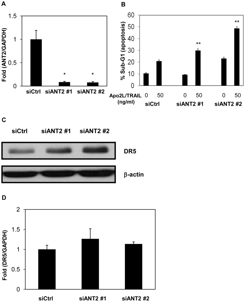 Knockdown of ANT2 enhances Apo2L/TRAIL-induced apoptosis by upregulating DR5 at the post-transcriptional level. DU145 cells were transfected with two different ANT2 siRNAs (siANT2 #1 and #2) or a non-targeting siRNA (siCtrl) and were incubated for 48 hr. A, ANT2 mRNA was quantified by real-time RT-PCR and normalized by GAPDH. B, The cells were treated with or without 50 ng/ml Apo2L/TRAIL. After 24 hr, the sub-G1 population of the cells was measured with flow cytometry. C, Protein levels of DR5 and β-actin were analyzed by Western blotting. D, mRNA levels of DR5 were measured by real-time RT-PCR and normalized by GAPDH. Columns, mean; bars, SD (n = 3). * P