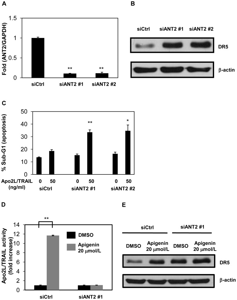Apigenin enhances Apo2L/TRAIL-induced apoptosis by inhibiting ANT2 in LNCaP cells. LNCaP cells were transfected with siANT2 or siCtrl and were incubated for 48 hr. A, ANT2 mRNA was quantified by real-time RT-PCR and normalized by GAPDH. B, Protein levels of DR5 and β-actin were analyzed by Western blotting. C, The cells were incubated with or without 50 ng/ml Apo2L/TRAIL. After 24 hr, the sub-G1 population of the cells was measured with flow cytometry. D, The cells were incubated with 20 µmol/L apigenin for 24 hr, followed by treatment with or without 50 ng/ml Apo2L/TRAIL. The Apo2L/TRAIL activity in samples without apigenin was normalized to 1. E, The cells were incubated with 20 µmol/L apigenin for 24 hr. Protein levels of DR5 and β-actin were analyzed by Western blotting. Columns, mean; bars, SD (n = 3). * P