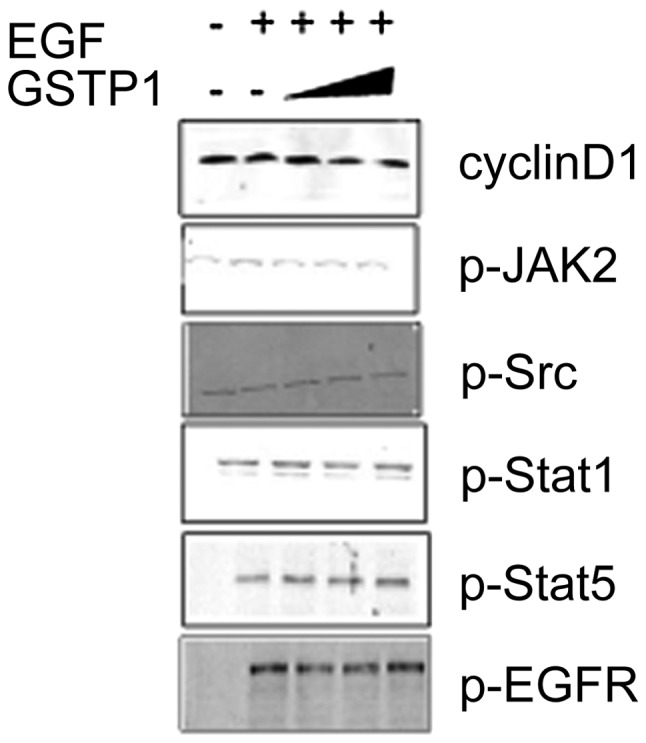 Effect of glutathione S-transferase π (GSTP1) overexpression on upstream kinases and cyclin D1. The cell lysates from HepG2 cells treated with GSTP1 for 48 h were resolved on 10% sodium dodecyl sulfate-polyacrylamide gel electrophoresis (SDS-PAGE), then immunoblotted with antibodies as indicated in Materials and methods. EGF, epidermal growth factor; p, phosphorylated: EGFR, EGF receptor.
