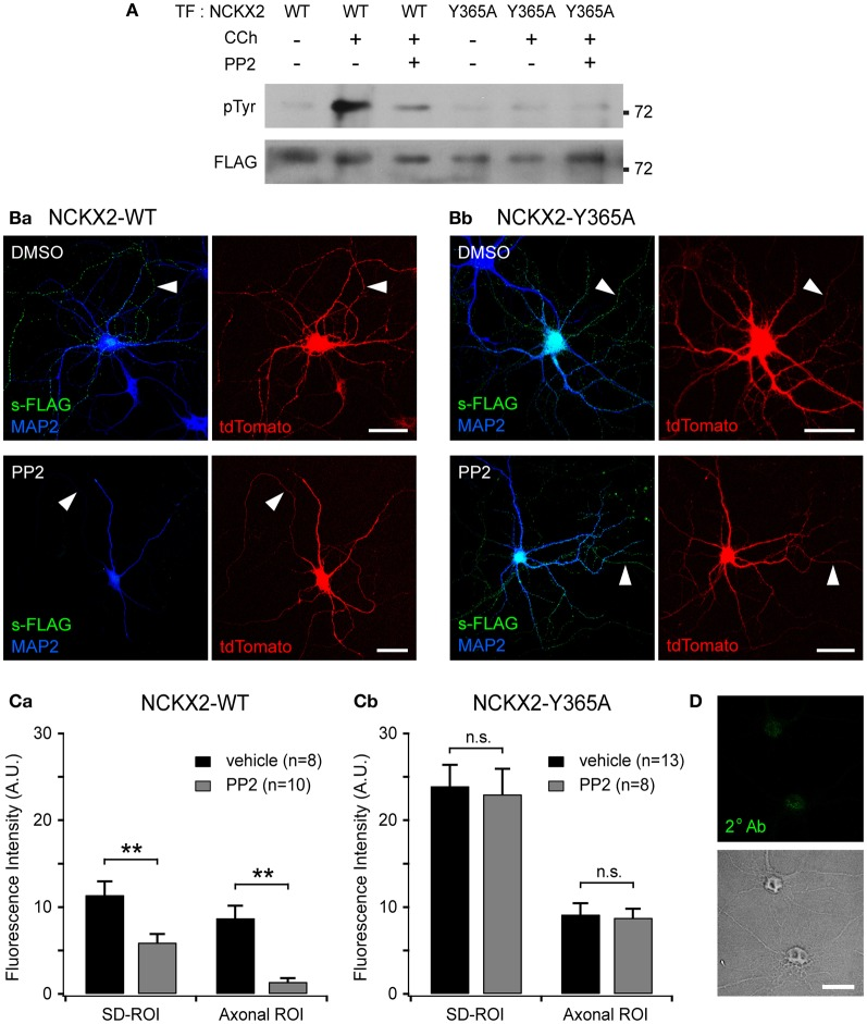 Src family kinase (SFK)-mediated Tyr-365 phosphorylation of NCKX2 regulates its surface expression. (A) Tyrosine phosphorylation of NCKX2 in response to carbachol (CCh) in PC-12 cells. We transfected FLAG-tagged NCKX2-WT or NCKX2-Y365A into PC-12 cells which normally express PYK2 and SFK, and treated the cells with 1 mM CCh for 2 min. To observe tyrosine-phosphorylation of NCKX2, NCKX2 was immunoprecipitated with anti-FLAG and then immunoblotted with anti-phosphotyrosine (pTyr) IgG. NCKX2-WT, but not NCKX2-Y365A, was strongly phosphorylated by CCh treatment. Pretreatment with 10 μM PP2, a selective inhibitor of SFK, reduced the CCh-induced tyrosine phosphorylation of NCKX2-WT. The FLAG signals on the same blot are shown in the lower image, showing little difference in expression levels of wild-type or Y365A mutant NCKX2 between different conditions. (B) Hippocampal neurons expressing FLAG-tagged NCKX2-WT (Ba) or NCKX2-Y365A (Bb) were treated with 0.1% DMSO (control; upper) or 10 μM PP2 (bottom) for 2 h. Wild-type or Y365A mutant of NCKX2 expressed on the surface was visualized with anti-FLAG (s-FLAG; green). Dendrites were immunostained with anti-MAP2 (blue). Arrowheads indicate axons. Scale bar: 50 μm. (C) The spatially averaged fluorescence intensity of wild-type (Ca) or Y365A mutant (Cb) of surface NCKX2 on SD- or axonal ROIs of the vehicle (DMSO; black)- or PP2 (gray)-treated neurons under the same imaging settings. ** p