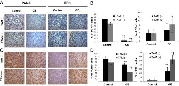 GE and TAM inhibited the expression of PCNA and increased ERα expression in vivo . Immunohistochemical analysis was performed in tumor samples to detect PCNA-positive cells for proliferation index (left panel) and ERα in vivo expression (right panel). A ) and B ) PCNA and ERα expression in MDA-MB-231 tumor xenogratfs ( Protocol 1). C ) and D ) PCNA and ERα expression in C3(1)-SV40 Tag transgenic mice tumors ( Protocol 2). Immunohistochemical data in terms of percentage of positive cells are presented as mean ± SD from each group. PCNA-positive and ERα-positive cells were counted in 5 different areas of the sections, and data are summarized in terms of percent positive cells from all tumor samples. Representative photograph from one field of each experimental group. Columns, mean; Bars, SD from 5 or 10 mice per group; *, p