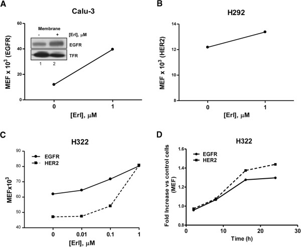EGFR and HER2 increase at the plasma-membrane level. Calu-3 (A) and H292 (B) cell lines were treated with 1 μM erlotinib for 24 h, H322 cell line was treated with increasing concentration of erlotinib (C) or with 1 μM erlotinib for the indicated period of time (D) . At the end of the treatment, cell surface expression of EGFR and/or HER2 were evaluated by flow cytometry and the quantification is reported as Molecules of Equivalent Fluorophore [MEF] or as fold increase versus untreated control cells (D) . Inset Figure 2A : Western blot analysis of EGFR protein membrane level in Calu-3 after treatment with 1 μM erlotinib for 24 h. Whole cells were labeled with biotin and membrane bound proteins were pulled down with neutrAvidin beads. The results are from representative experiments. Each experiment, repeated three times, yielded similar results.