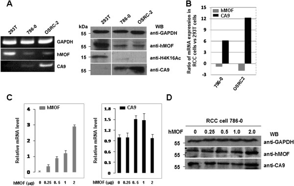 Non-correlation between hMOF and CA9 is found in renal cell carcinoma cells. A. hMOF protein expression was correlated with acetylation of H4K16 in RCC cell 786–0 and OSRC-2. 293T, 786–0 or OSRC-2 cells were cultured in 6-well tissue culture plates (~2x10 5 cells/well) in DMEM medium containing 10% fetal bovine serum. Whole cell extracts were subjected to immunoblotting using indicated antibodies (right panel). 293T, 786–0 or OSRC-2 cells from 1 well of a 6 well plate were lysed and total RNA was isolated using Trizol. hMOF and CA9 gene expressions were measured by RT-PCR (left panel) and qRT-PCR ( B ). C. Effect of hMOF on CA9 mRNA expression levels in RCC cells. RCC 786–0 cells were cultured in 6-well tissue culture plates (~2x10 5 cells/well) in DMEM medium containing 10% fetal bovine serum. The cells were transfected with 0.25, 0.5, 1 and 2 μg of hMOF cDNAs. 48 hours after transfection, cells were lysed and total RNA was isolated using Trizol. Indicated gene expressions were analyzed by qRT-PCR. D. Effect of hMOF on CA9 protein expression in RCC cells. RCC 786–0 cells were transfected with 0.25, 0.5, 1 and 2 μg of hMOF cDNAs. 48 hours after transfection, cells were harvested and lysed in RIPA buffer. Aliquots of whole cell extracts were subjected to 12% SDS-PAGE, and specific proteins were detected by indicated antibodies.