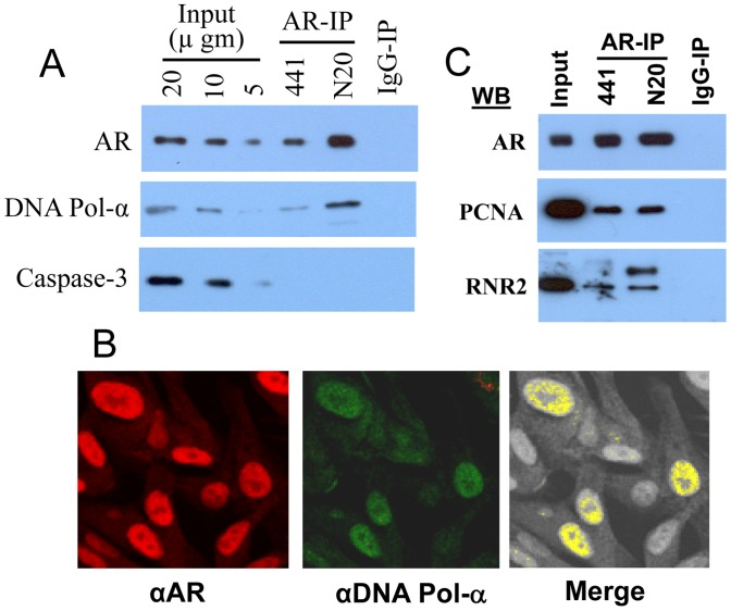 AR interacts with enzymes of DNA synthesis: A) AR-IP contains DNA polymerase-α. AR-IP prepared from exponentially growing LNCaP cells by using anti-AR mouse monoclonal (441) or rabbit polyclonal (N-20) antibodies was subjected to Western blot analysis. B) AR is colocalized with DNA polymerase-α in LNCaP cells. Exponentially growing LNCaP cells on slides were fixed and stained with anti-AR (N-20) rabbit polyclonal and anti-DNA polymerase-α (STK1) mouse monoclonal antibodies and confocal microscopy was performed. C) AR-IP contains PCNA and ribonucleotide reductase. AR-IP prepared from exponentially growing LNCaP cells was subjected to Western blot analysis. RNR2, ribonucleotide reductase catalytic subunit.