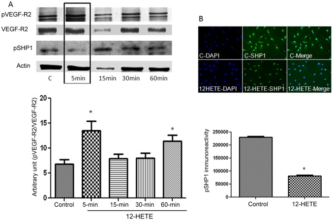 12-HETE induces phosphorylation of VEGF-R2 and dephosphorylation of protein tyrosine phosphatase (PTP) SHP1 in REC. Western blotting analysis (A) demonstrated significant increase in the level of pVEGF-R2 after 5 and 60 minutes from the beginning of treatment with 12-HETE. *P