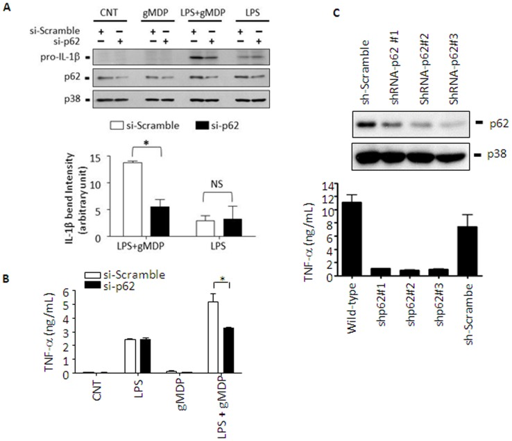 p62 enhances pro-IL-1β expression and TNF-α production in macrophages. A . RAW 264.7 cells were transfected with scrambled (si-Scramble) or p62 targeting (si-p62) small interference RNAs using Lipofectamine™ 2000. Twenty four hours post-transfection, cells were treated with a low dose of LPS (50 ng/mL) for 4 h, rinsed with complete media twice, and then incubated with gMDP (5 µg/mL) for another 4 h. Expression of pro-IL-1β was detected using an antibody against IL-1β and p38 was used as a loading control. Densitometric analysis of blots was done using ImageJ (NIH). Data are expressed as mean ± S.D. (n = 3). N.S., not significant; * p