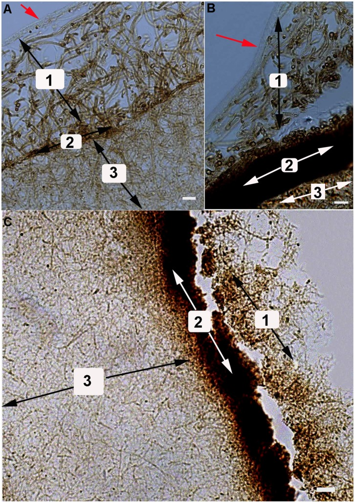 Microscopic structure of P. umbellatus artificial sclerotia at different stages of cultivation. The pictures were examined using Zeiss Axio Imager A1 microscope. (A) The cultivation of artificial sclerotia for 105 day. (B) The cultivation of artificial sclerotia for 120 days. The outermost membrane in (A) and (B) was indicated with a red arrow. (C) The cultivation of artificial sclerotia for 150 days. 1 represented the loose hyphae near the outermost membrane, 2 represented the pigmented layer, and 3 represented the thick and interwoven hyphae. Representative images were from three independent experiments. Scale bar, (A) and (B) 10 µm; (C) 20 µm.