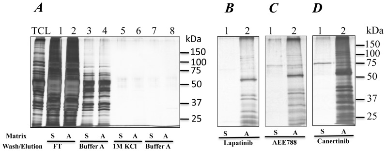 Drug elution of T. brucei protein kinases using an ATP-affinity resin. Proteins in total cell lysate from T. brucei were bound on ATP resin. Sepharose 4B resin was used as control. Unbound proteins (Flow through) were recovered and resin was washed sequentially with buffer A and buffer A containing 1 M KCl (Panel A). Bound proteins were eluted with lapatinib (100 µM), or AEE788 (100 µM) or <t>canertinib</t> (100 µM) (Panel B, C and D, respectively). Proteins were visualized by silver staining. Matrix label, A is ATP-sepharose, and S is Sepharose 4B.