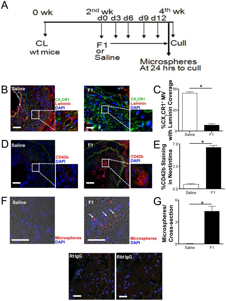 Pharmacologic inhibition of CX 3 CR1 results in formation of leaky microvessels within experimental plaque. A, Drug (F1) study protocol: Carotid artery was ligated in the C57BL6J mice (wt mice) and animals were treated with a selective CX 3 CR1 inhibitor (F1) (from second week post carotid ligation for another two weeks). B, Representative cross sectional images of carotid artery from C57BL6J mice treated with saline or a selective CX 3 CR1 inhibitor (F1) and stained for <t>laminin</t> (B; Basement membrane; Red), or CD42b (D; Platelets; Red), CX 3 CR1 (GFP; Green) and DAPI (Nucleus; Blue). B C, Significantly greater number of CX 3 CR1 positive microvessels were covered by basement membrane laminin in saline treated C57BL6J mice compared to F1 treated mice. D E, Increased platelet CD42b staining was observed in the neointimal interstitial space in the F1 treated mice compared to saline treated mice (Scale bar: 50 µm). In addition the leaky microvessel phenotype in mice treated with F1 was confirmed by presence of intravenously administered (tail vein) 2–2.5 µm diameter microspheres (red spheres) in the neointimal lesion (F G). IgG control staining for isotype-matched antibodies shown. Data is represented as mean ± SEM of 15 plaque sections/mice (n = 4 independently performed experiments); * denotes p