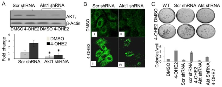 4-OH-E2-induced cell transformation is inhibited by AKT1 silencing. Inhibition of AKT expression by its silencing detected by Western Bloting (A) and confocal microscopy (B). (C) Detection of inhibition of 4-OH-E2-induced cell transformation by AKT1 silencing by anchorage-independent growth assay. The MCF-10A cells were transfected with pre-designed and verified human shRNA for AKT1 and control shRNA plasmid consisting of scrambled shRNA sequence that does not lead to the specific degradation of AKT1 (OriGene Technologies, Inc. Rockville, MD). These cells were exposed to a carcinogenic dose of 4-OH-E2 (10 ng/ml) as described in Fig. 2. The cellular extracts from treated and controls cells were separated on SDS-PAGE, transferred to the membrane, and followed by Western detection of AKT. Images of 40x of AKT immuno-reactivity of 4-OH-E2 treated wild type and Akt silenced MCF-10A cells were acquired by immunofluorescence confocal microscopy using Alexafluor 488. Anchorage independent growth, an indicator of neoplastic transformation of cells, was assessed in soft agar. Images were acquired by using an Olympus C-5060 digital camera attached to the Nikon <t>TE2000U</t> inverted microscope with a 4x objective. Colony efficiency was determined by a count of the number of colonies > 63 um in diameter and data expressed as mean of five wells +/− S.D.