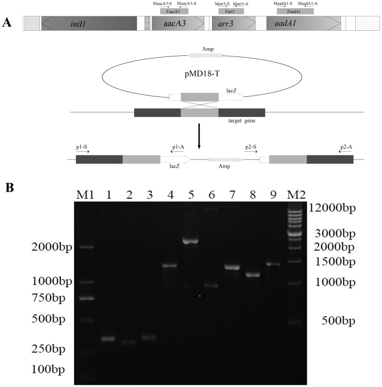 Construction and analysis of resistance gene mutants. A. Schematic representation of homologous single recombination between a target resistance gene fragment cloned in <t>pMD18-T</t> and the target resistance gene in YNA11-2. Location of primers used for PCR is shown in the figure. The shaded box areas represent the target resistance gene while the lightly shaded area represents a cloned resistance gene fragment where homologous recombination occurred between pMD18-T and the genome of YNA11-2. When the mutant MaacA3 was analyzed, the primer accyan1-S, accyan1-A, accyan2-S and accyan2-A were used as the p1-S, p1-A, p2-S and p2-A, respectively. When the mutant Marr3 was analyzed, the primer arryan2-S, arryan2-A, arryan4-S and arryan4-A were used as the p1-S, p1-A, p2-S and p2-A, respectively. When the mutant MaadA1 was analyzed, the primer aadayan4-S, aadayan4-A, aadayan5-S and aadayan5-A were used as the p1-S, p1-A, p2-S and p2-A, respectively. B. Electrophoresis of three resistance genes fragments and PCR identification of three mutants. M1, DNA markers; Lane 1–3, PCR products of three resistance genes fragments FaacA3, Farr3 and FaadA1; Lane 4–9, PCR products of MaacA3 with primer pairs p1 and p2, PCR products of Marr3 with primer pairs p1 and p2, PCR products of MaadA1 with primer pairs p1 and p2; M2, DNA markers.