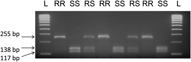 Agarose gel of a PCR-RFLP to detect dieldrin resistance in An. funestus . The top band is a 255 bp fragment for resistant mosquitoes while the bottom bands represent the 117 and 138 bp fragments resulting from the restriction digestion by <t>HpyCH4V.</t>