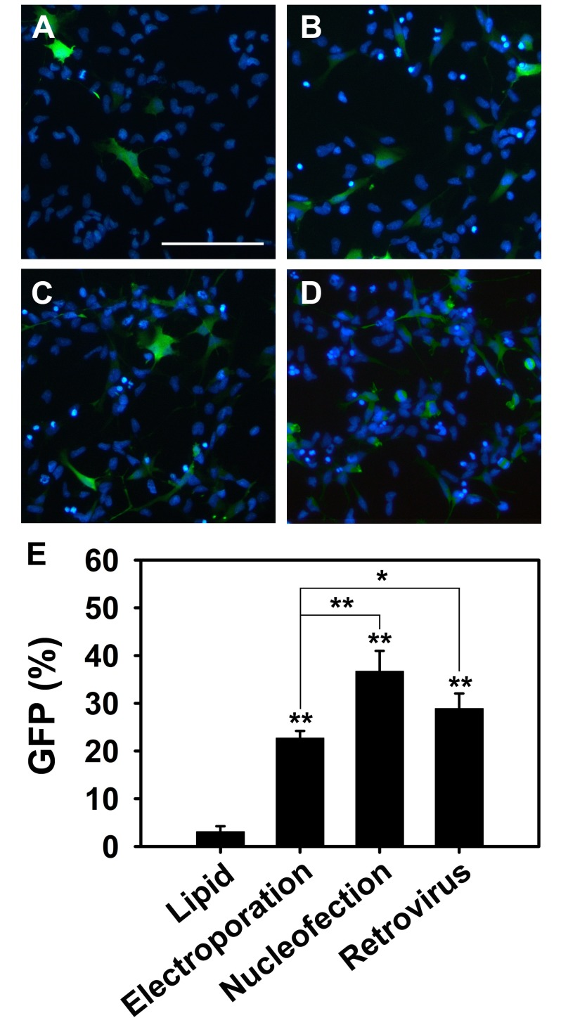 Comparison of transfection efficiency of lipid-mediated transfection, electroporation, nucleofection and retroviral transduction. (A~D) Representative merged images of NSCs transfected with GFP vector for 48 hours using (A) X-tremeGENE9 transfection reagent, (B) NEPA21 electroporator, (C) Amaxa 4D Nucleofector, and (D) retroviral transduction. By immunostaining GFP positive cells are shown in green and nuclei are shown in blue. Scale bar=100 µm. (E) Quantification data of the transfected cells. The ratio of GFP-positive cells to the total cells was calculated. Quantitative data are shown as mean±S.D. ( ** p