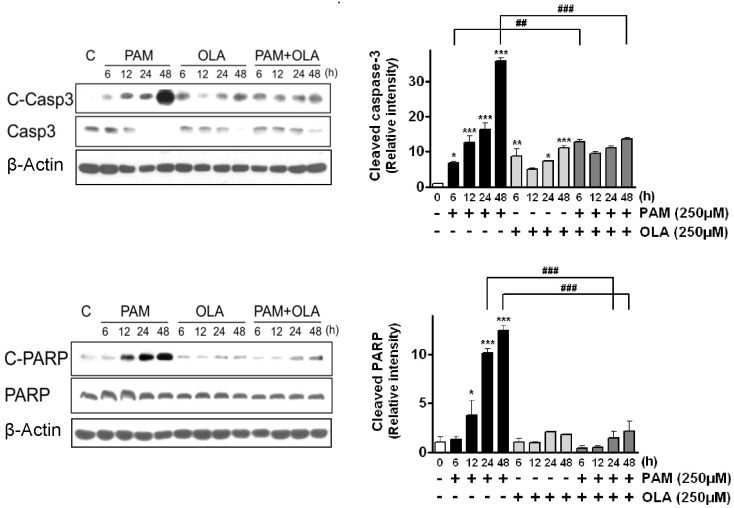 Effects of oleic acid (OLA) on the levels of cleaved apoptotic proteins (caspase-3, PARP) in palmitic acid (PAM)-treated AR42J cells. Cells were incubated with 250 µM OLA for 6~48 h in the presence or absence of 250 µM PAM. The levels of cleaved caspase-3 (C-Casp3) and cleaved PARP (C-PARP) were detected by Western blotting. The results on the right are presented as means±SEM of 3 independent experiments. The expression level of each protein was normalized to that of a housekeeping protein, β-actin. * p