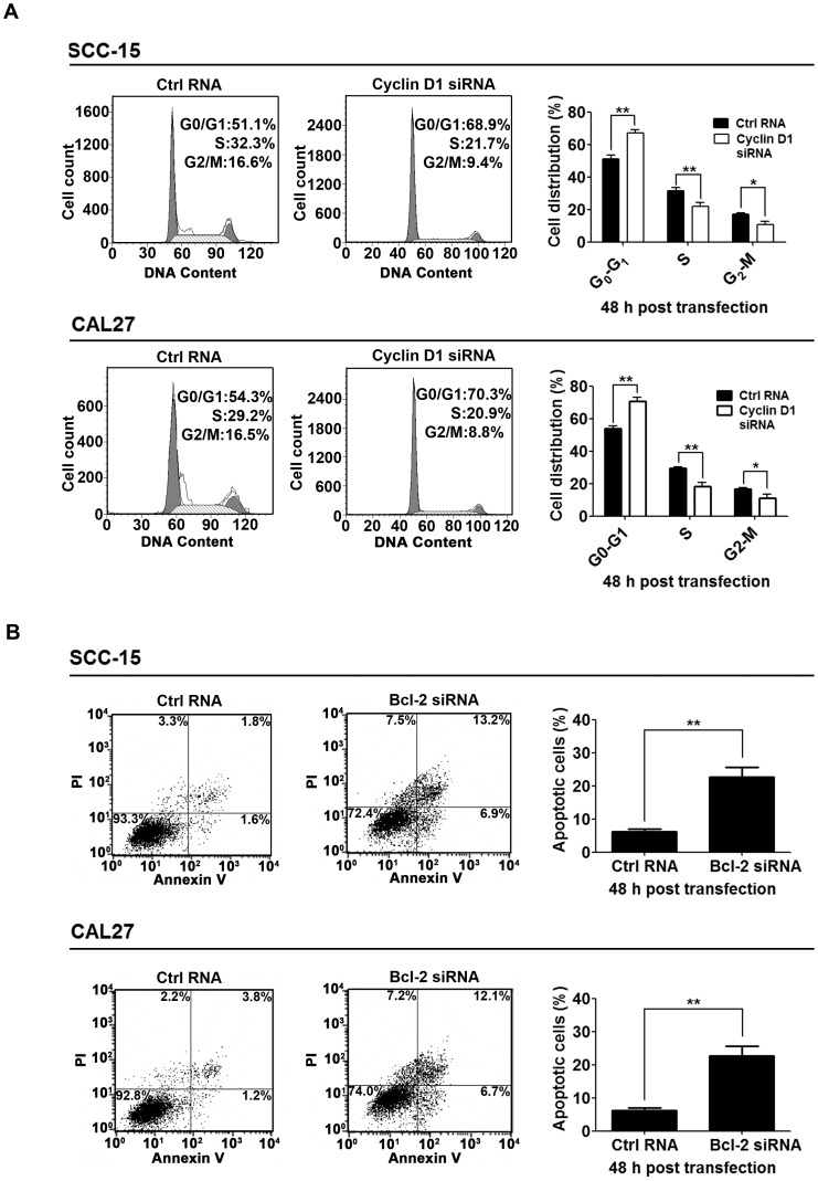 Inhibition of Cyclin D1 and Bcl-2 was responsible for the tumor suppressive effects of miR-195. (A), Inhibition of cell cycle progression by knockdown of Cyclin D1. SCC-15 and CAL27 cells were transfected with control RNA (Ctrl RNA) or Cyclin D1 siRNA as indicated. Cells were stained with propidium iodide (PI) at 48 h post-transfection and analyzed with FACS ( * P
