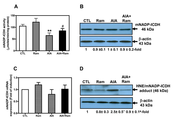 Cardiac mitochondrial NADP+-dependent isocitrate dehydrogenase (mNADP-ICDH) activity (A), protein (B), and mRNA (C) . Total proteins and RNA were extracted from left ventricular (LV) tissues of control and adjuvant-induced arthritis (AIA) rats and processed to enzymatic assay (A) , Western blotting (B) or real-time PCR (C) , as described under Materials and Methods. (D) Cardiac 4-hydroxynonenal (HNE)/NADP-ICDH adducts were identified in total proteins by immunoprecipitation as described in Material and Methods. Values are the mean ± SEM of three experiments. ** P