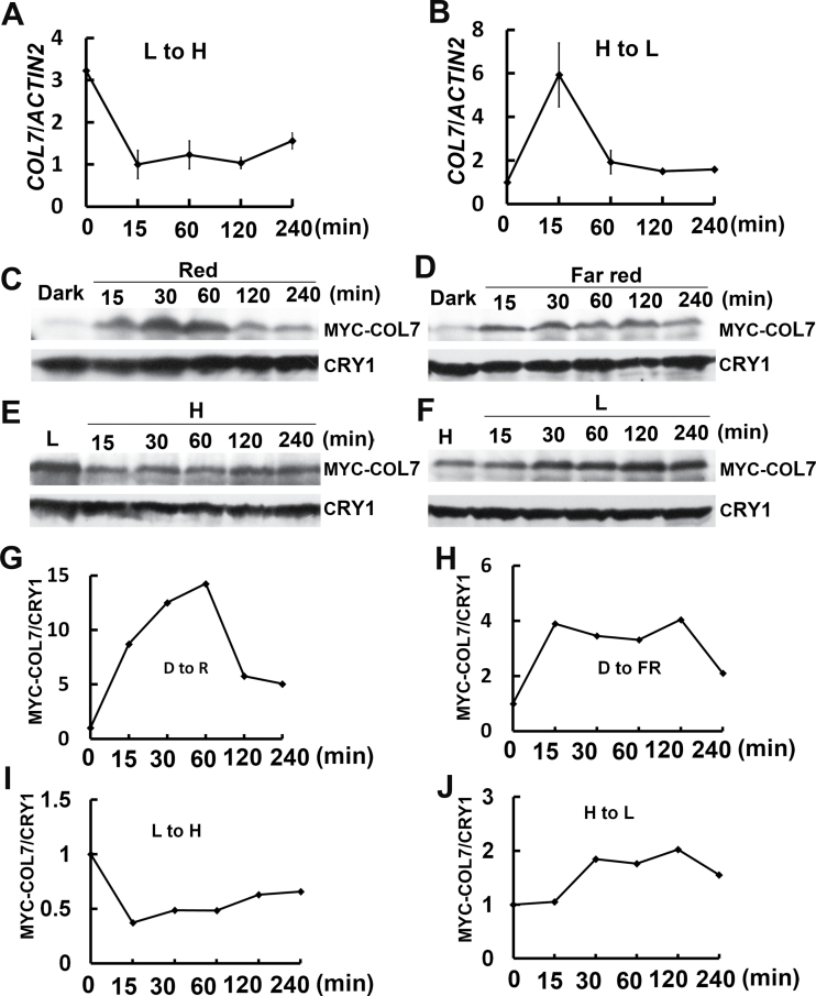 Expression of COL7 mRNA and protein. (A) COL7 mRNA expression in response to high R:FR for the indicated period (15, 30, 60, 120, and 240min). Seedlings were grown in white light for 3 d, moved to low F:FR for 4 d, and then transferred to high R:FR (white light, R:FR ratio of 1.2). (B) COL7 mRNA expression in response to low R:FR. Seedlings were incubated in white light for 7 d and then transferred to low R:FR. Error bars represent the standard deviations of three independent replicates. (C, D) Representative immunoblot showing the level of COL7 protein in the 35S::MYC-COL7 line in response to red light (C) or far-red (D) light. Seedlings of the 35S::MYC-COL7 line were grown on MS plates for 5 d in white light followed by 3 d in the dark and then transferred to far-red light or red light. Immunoblots were probed with the anti-MYC antibody (MYC-COL7), stripped, and then probed with the anti-CRY1 antibody (CRY1). (G, H) The curves indicate the relative abundance of MYC-COL7 protein in samples in response to a period of red light (G) or far-red (H) light treatment, which was calculated by the formula (MYC-COL7/CRY1 [t n ])/(MYC-COL7/CRY1 [t 0 ]). The relative abundance of MYC-COL7 protein in the dark was set to 1. (E, F, I, J) COL7 protein level in the 35S::MYC-COL7 line in response to high R:FR (E, I) or low F:FR (F, J). The 35S::MYC-COL7 line was treated as mentioned in (A) and (B). 'H' represents high R:FR; 'L' represents low F:FR; 'R' represents red light; 'FR' represents far-red light; and 'D' represents dark. Similar results were obtained from three independent biological replicates.