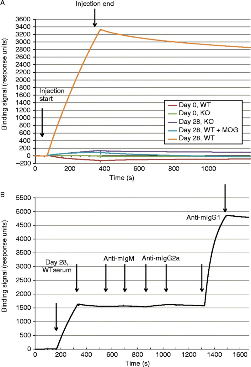 Surface plasmon resonance (SPR) analysis of serum antibody binding to MOG. A. SPR sensorgrams of serum samples binding to sensor immobilized MOG. Serum from 8 mice were pooled for each of the following sample sets: Day 0 WT, Day 0 KO, Day 28 WT, and Day 28 KO. Start and stop injection times are indicated by arrows. Day 28 WT serum showed the highest binding response, and the majority of this binding signal could be competed with soluble MOG (2 uM) preincubated with the serum sample before injection. B. Detection of the major binding isotype in Day 28 WT serum. Subsequent injections of three anti-isotype antibodies were used to probe the MOG bound component. Start and stop injection times are indicated by arrows for each sample (Day 28 WT serum, anti-mIgM, anti-mIgG2a and anti-mIgG1). The data indicate that the majority of the binding signal is specific to IgG1. No background binding of anti-mIgG1 to MOG alone was detected (data not shown).