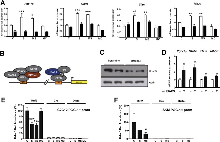 <t>HDAC3</t> ablation mimics the effect of class I HDAC inhibitors in a PGC-1α–dependent manner. A : Pgc-1α , Glut4 , <t>Tfam</t> , and Idh3α expression in C2C12 myotubes infected with adenoviruses expressing shRNA against Pgc-1α (■) or scramble control (□). Note that the effect of HDAC inhibitors is lost in the absence of Pgc-1α. B : Schematic representation of the HDACs known to be present on the Pgc-1α promoter (prom). C : Hdac3 protein levels in C2C12 myoblasts transfected with small interfering RNA against Hdac3 or control. D : Gene expression profile after silencing Hdac3 in C2C12 myoblasts. E and F : Hdac3 ChIP of C2C12 myotubes or skeletal muscle (SKM) of db/db mice treated with HDAC inhibitors. Bars represent presence of Hdac3 on the Pgc-1α promoter within the Mef2 or the cAMP-responsive element regions shown in B . A distal region was used as a negative control. Data are presented as means ± SD. * P