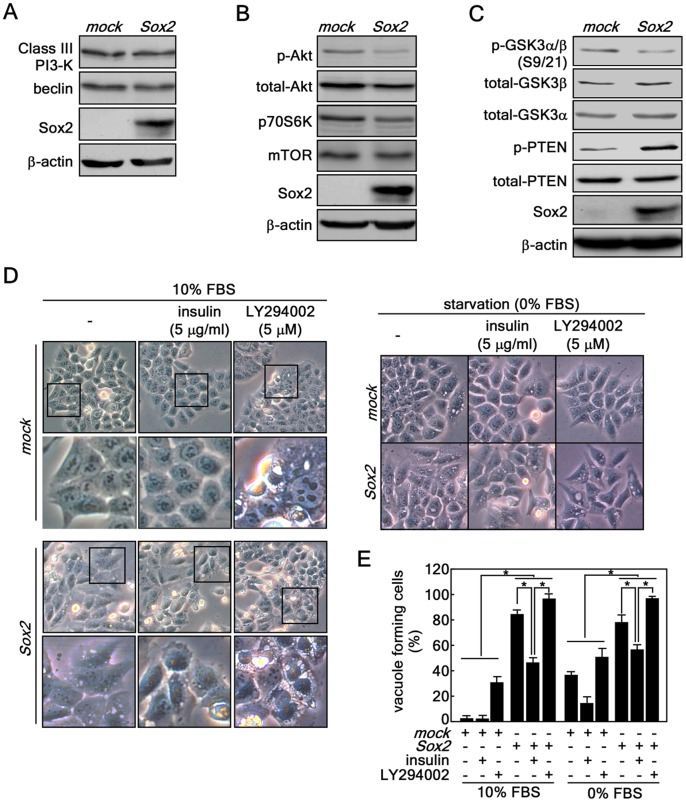 Sox2-induced autophagy is mediated through the down-regulation of the Akt signaling pathway, but not through Class III PI3-K signaling. ( A–C ) Protein levels of Class I signaling molecules including Akt, mTOR and p70S6K and class III PI3-K signaling molecules including Vps34p and beclin were analyzed in HCT116 cells stably expressing mock or Sox2 . The individual proteins were visualized by Western blotting using specific antibodies. β-Actin was used as an internal control to verify equal protein loading. ( D ) Involvement of Class I PI3-K signaling in Sox2-induced autophagy. ( D, left panels ) HCT116 cells stably expressing mock or Sox2 were treated with insulin or LY294002 under 10% FBS-containing conditions at 2 days after infection. Vacuole formation was observed by light microscopy (X200). The boxed areas are individually magnified 2 more times ( lower panels for mock and Sox2 ) to better visualize vacuoles. (D, right panels) The cells were transduced with Sox2 viral particles and cultured 2 days. The cell culture medium was replaced with McCoy's 5a without FBS supplementation but including 5 µg/ml insulin or 5 µg LY294002 and then cells were cultured for 5 days. The cells were observed under light microscopy (X200). ( E ) Quantitative comparison of autophagy formation induced by class I PI3-K signaling. The vacuole forming cells from D and F were counted and compared in a numerate graphic (*p