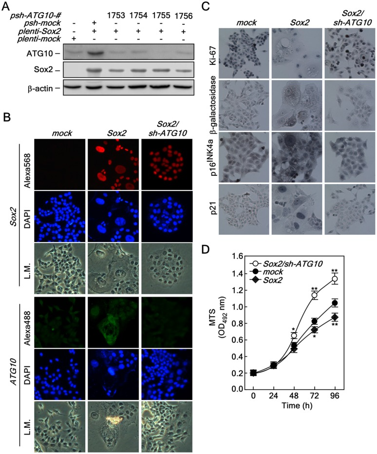 Knockdown of ATG10 restores Sox2-induced autophagy, cellular senescence and proliferation. ( A ) Confirmation of the knockdown efficiency of ATG10. Knockdown of ATG10 using pLKO-shATG10 . The pLKO-shATG10 knockdown lenti-viral particles were infected into HCT116 cells stably expressing Sox2 and cells cultured for 36 h. The proteins were extracted and knockdown efficiency was determined by Western blot using a specific ATG10 antibody. ß-Actin was used as an internal control to verify equal protein loading. ( B ) Morphological changes induced by ATG10 knockdown in HCT116 cells stably expressing Sox2 . HCT116-mock, -Sox2 and -Sox2/sh-ATG10 cells were analyzed for morphological changes and protein levels of Sox2 (red) and ATG10 (green) were determined by an immunofluorescence assay using specific antibodies. The cells were observed under a fluorescence or light microscope (X200). L.M. indicates light microscopy. ( C ) Restoration of cell cycle, cell proliferation and senescence markers by knocking down ATG10 in HCT116 cells stably expressing Sox2 . HCT116-mock, -Sox2 and -Sox2/sh-ATG10 cells were seeded into a 4-chamber slide, fixed and permeabilized. Markers for cell proliferation, cellular senescence and cell cycle regulation included Ki-67, ß-galactosidase, p16 INK4a and p21. These markers were analyzed by immunocytochemistry with specific antibodies as indicated using the Sigma FASTTM 3,3′-Diaminobenzidine Terahyfrochloride with Metal Enhancer Tablet Sets (DAB peroxidase substrate). The cells were observed under a fluorescence or light microscope (X200). ( D ) Restoration of proliferation by knocking down ATG10 in HCT116 cells stably expressing Sox2 . HCT116-mock, -Sox2 and -Sox2/sh-ATG10 cells (2×10 3 ) were seeded into 96-well plates and proliferation was analyzed by MTS assay at 24 h intervals up to 96 h (*p
