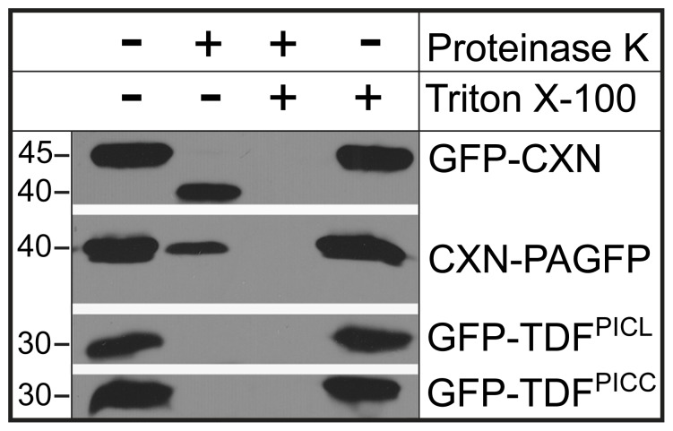 PICL and PICC N-termini face the cytoplasm. Immunoblot analysis using GFP antibody. Microsomal preparations were treated with and without Proteinase K. GFP-CXN and CXN-PAGFP were used as controls. In the microsome fraction containing GFP-CXN, GFP is protected from proteinase K treatment, whereas GFP of CXN-PAGFP is susceptible to proteinase K digestion. GFP of GFP-TDF PICL and GFP-TDF PICC are hydrolyzed indicating exposure to Proteinase K. At the given concentration of proteinase K (sufficient to completely hydrolyze GFP in GFP-TDF PICL and GFP-TDF PICC ), a small amount of PAGFP remains undigested (second column of CXN-PAGFP). Microsomal membranes were solubilized by the detergent Triton X-100. Numbers on the left indicate approximate molecular mass in kilodaltons.